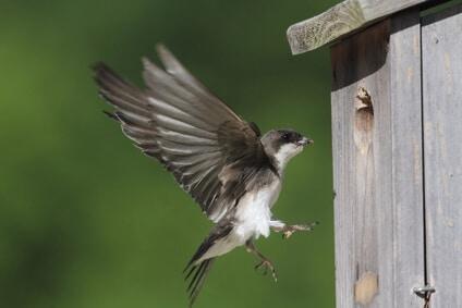 Fugl på vej ind i fuglehuset